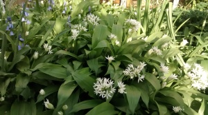 wild garlic in the garden